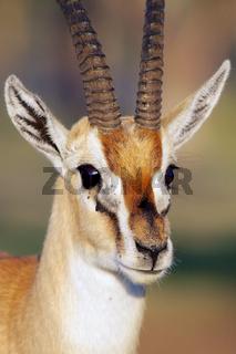 portrait of a thomson's gazelle at nakuru