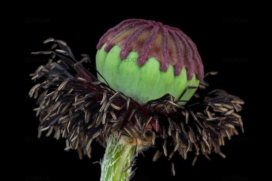 Poppy seed capsule (Papaver)