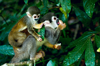 Squirrel Monkey in amazon rainforest