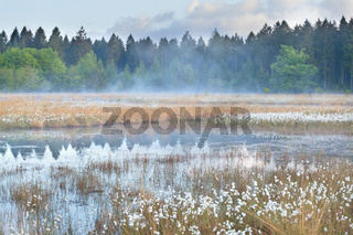misty morning on wild forest swamp