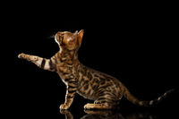 Bengal Kitty Sits and Raising Up Paw on Black