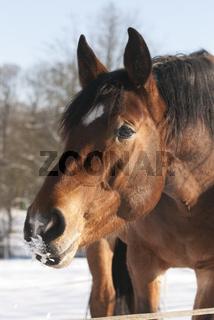 Pferd im Schnee