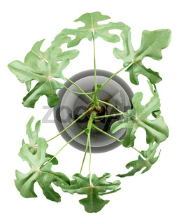 top view of fig plant in glass vase isolated on white background