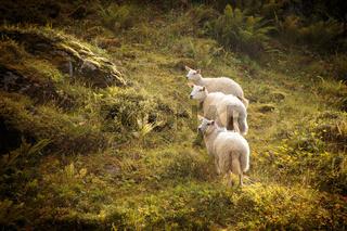 Three curious sheep