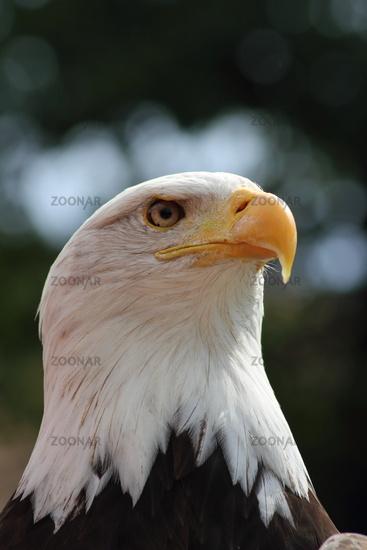 Portrait: White-head-sea-eagle