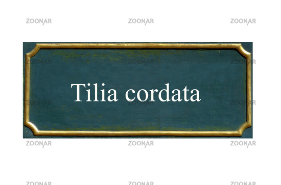 shield winter linden, Tilia cordata, local Dud