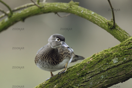 pretty female... Wood Duck *Aix sponsa*