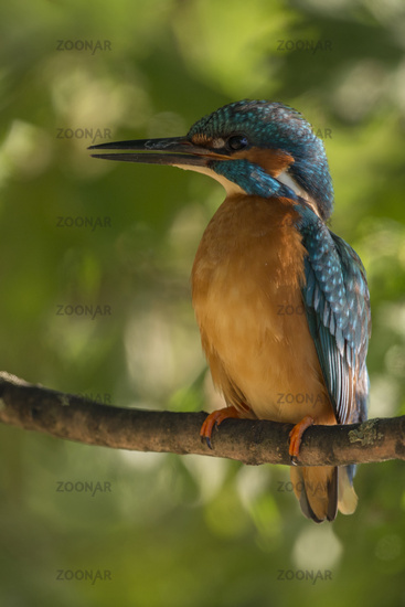 colourful...  Common Kingfisher *Alcedo atthis*