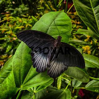 Mormon Papilio memnon Agenor