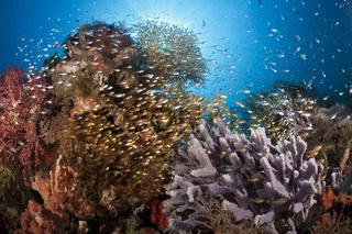 Glasfische in Korallenriff, Komodo Nationalpark