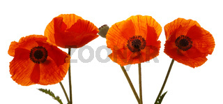 Four Poppy flowers isolated
