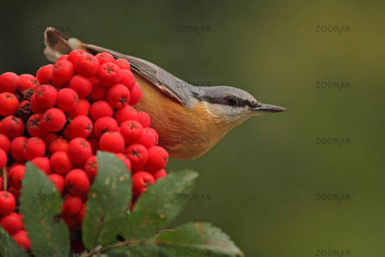 Nuthatch on mountain ash (Sitta europaea)