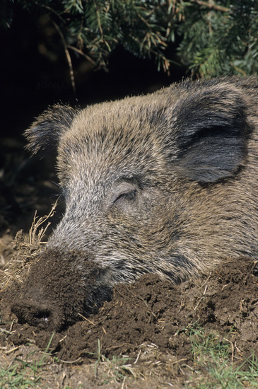Wild Boar sow portrait during sleep