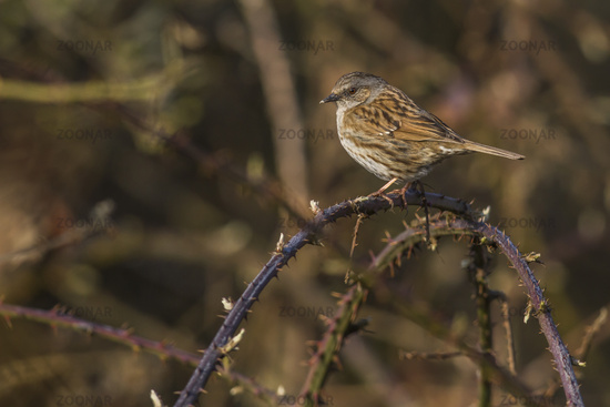 Dunnock, hedge sparrow (Prunella modularis)