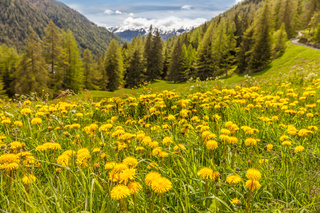 Dandilon meadow in South Tyrol