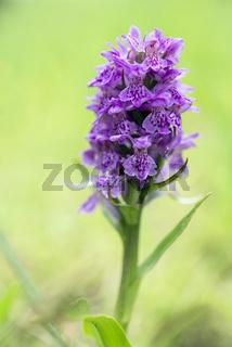 Northern Marsh-orchid - Dactylorhiza purpurella