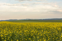 Fields of yellow rapeseed with blue sky in the bac