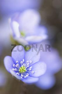 Leberblümchen (Hepatica nobilis), Nahaufnahme