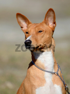 Basenji dog in the autumn garden