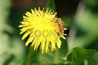 Löwenzahn, Biene in Blüte
