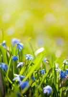 Scilla siberica flowering plant