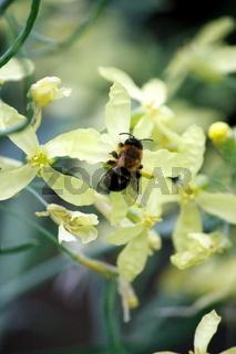 Biene, gelbe Blüte