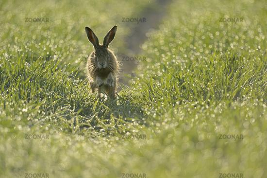 jumpin'... European Hare *Lepus europaeus*
