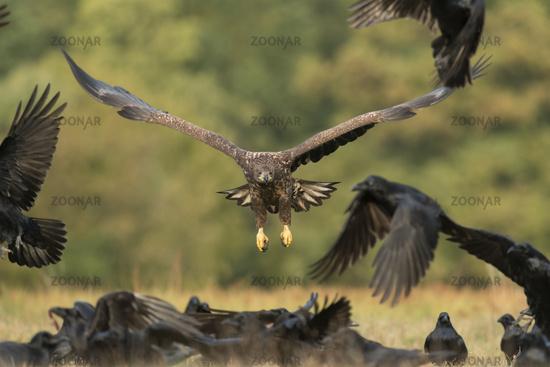 chasing ravens... White-tailed Sea Eagle *Haliaeetus albicilla*