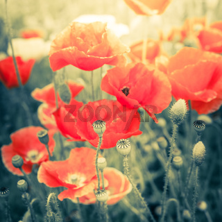 Wild poppy flowers on summer meadow. Watercolor painting effect