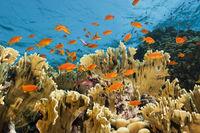 Korallenriff mit Harems-Fahnenbarschen, Sudan