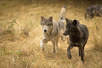 Two wolves out exploring