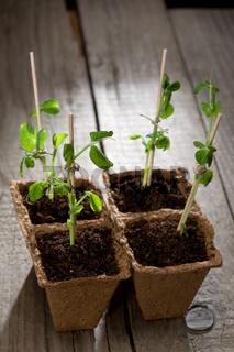 Young peas seedlings