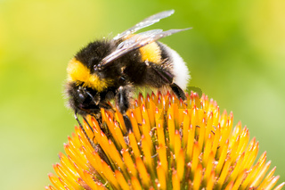 Bumblebee collecting nectar on Echinacea flower