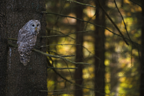 in conifer woods... Ural Owl *Strix uralensis*