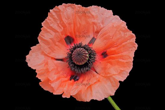 Poppy flower (Papaver)