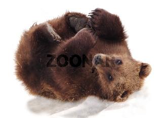 Alaskan Bear Cub Playing in Snow