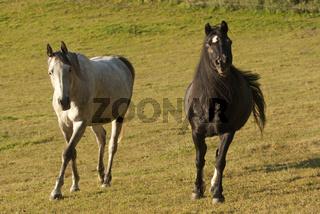 Pony und Araber