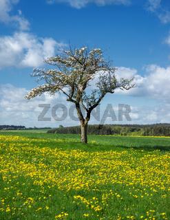 Blühender Apfelbaum in einer Blumenwiese