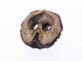 Schwarze Walnuss, Schwarznuss, Juglans nigra L.