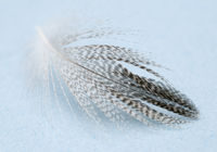 bird feather