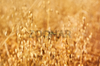Odonata or dragonfly on oat