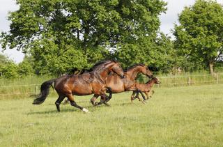 Pferde rennen auf Weide
