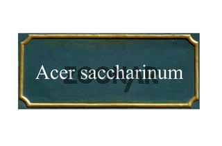 schild silberahorn, acer saccharinum, einheimisches gewaechs