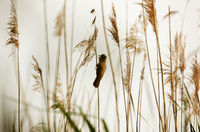 Great reed warbler ( Acrocephalus arundinaceus) sitting on reed