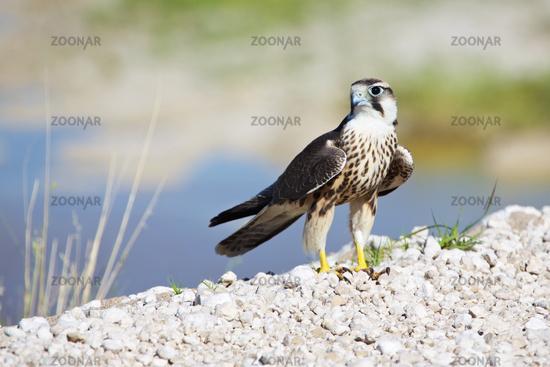 lanner falcon at etosha