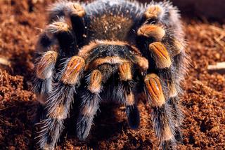Mexican red knee tarantula