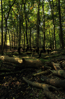 Buchenwald, Nationalpark Unteres Odertal