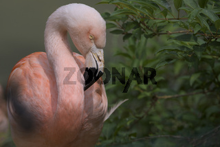 Chilean flamingo, Phoenicopterus chilensis, Chilenischer Flamingo,