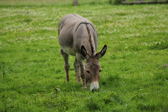 Big donkey on the willow