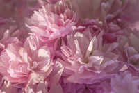 Vibrant pink blossom with soft pastel shades